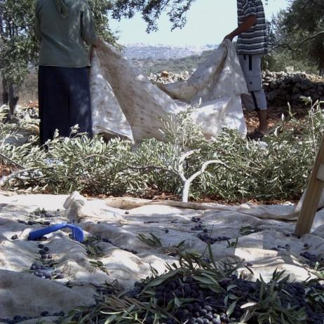 Ulivi - Palestina (2004)